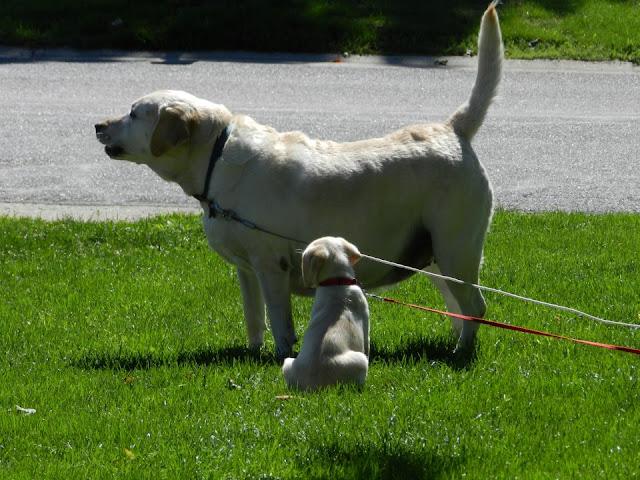 dog, puppy, labs, yellow lab