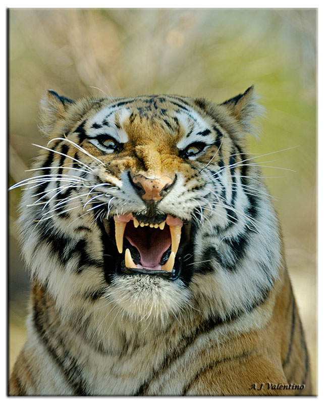 Angry tiger face - photo#12