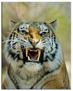 Angry Tiger Face Pictures