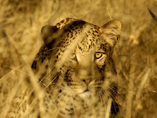 Leopard Hiding in Grass HD Wallpaper