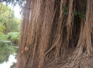 8 Khasiat Akar Pohon  Beringin Untuk Kesehatan