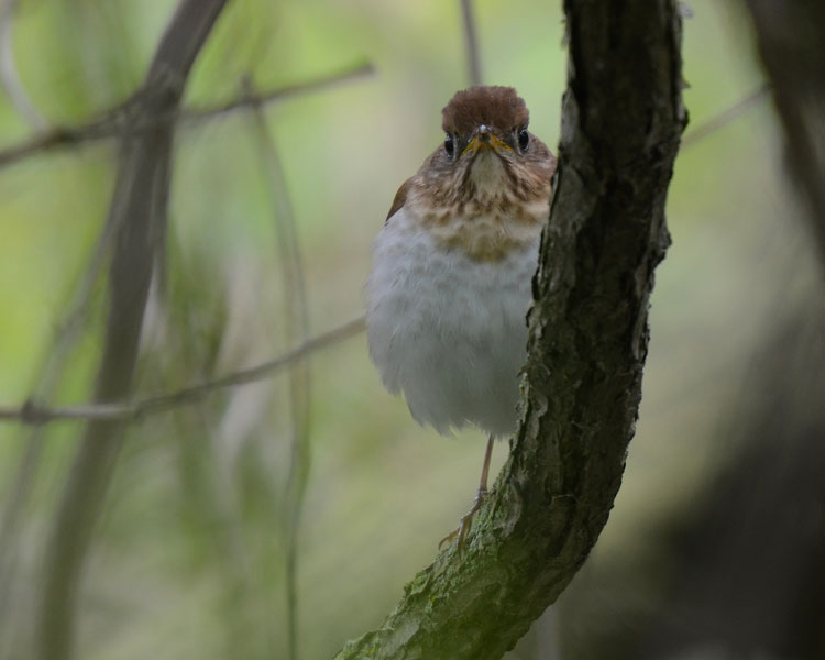 A beautiful Veery Thrush (Catharus fuscescens) along the boardwalk at Magee Marsh