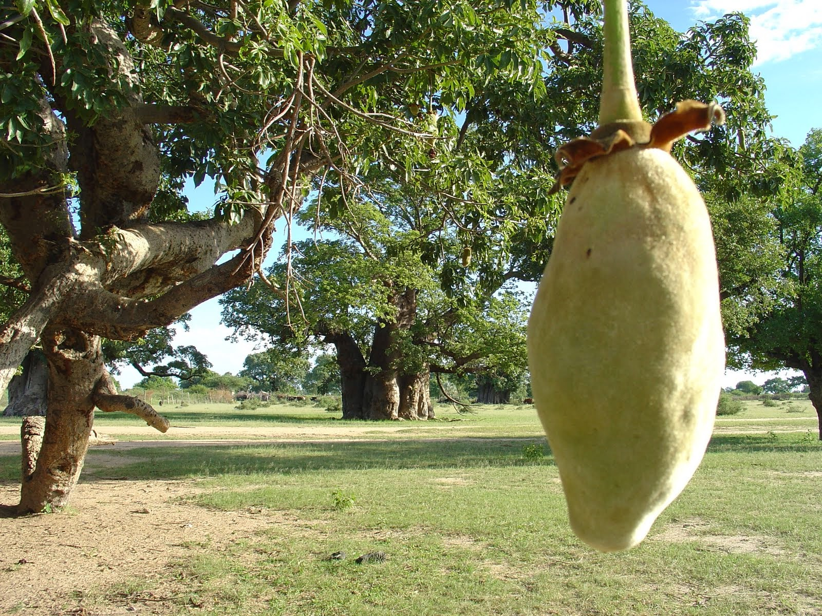 The Baobab Tree is also known as the u201cTree of Lifeu201d u201cThe Chemist Treeu201d and u201cThe Monkey Bread Treeu201d. The scientific name is Adansonia Digitata. & Liliana Usvat - Reforestation and Medicinal use of the Trees ...