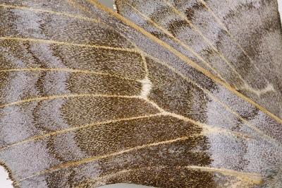 Poplar Hawkmoth Laothoe populi male