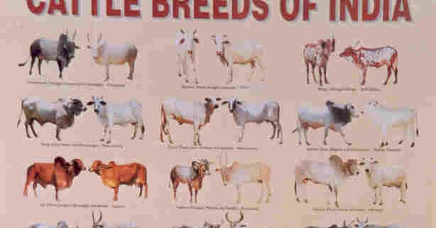 H F Cattle India Indian Indigeno...