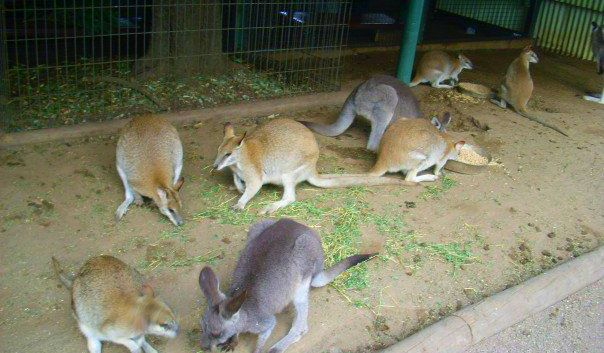 Kangaroos roaming around Featherdale Wildlife Park.