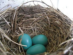 Robin Blue Eggs, Living from Glory to Glory Blog