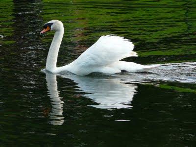Mute Swan, Greenbank Park