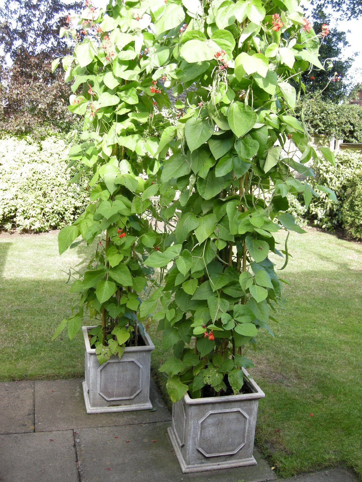 Growing bush beans in containers - Green Bean Plant In A Pot The Plants In The Beige Pots