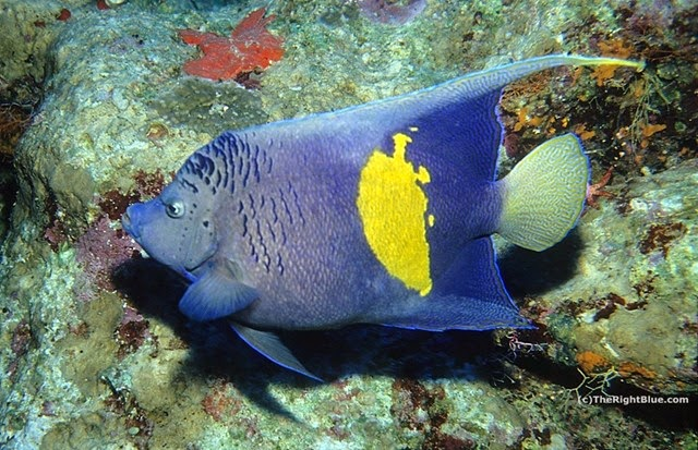 Yellowbar Angelfish (Pomacanthus maculosus)