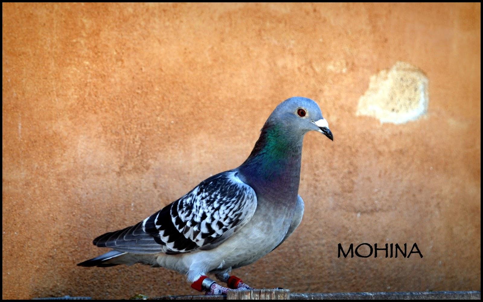 Mohína