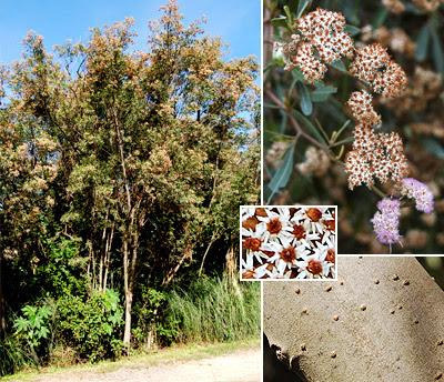 aliso de rio Tessaria integrifolia