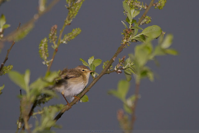 itis - Willow Warbler - Phylloscopus trochilus