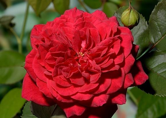 Bicentenaire de Guillot rose сорт розы фото