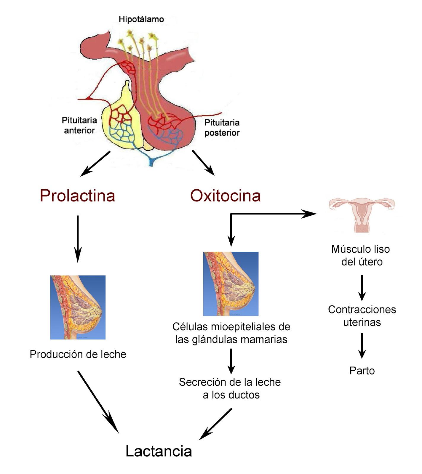 La prolactina y la oxitocina regulan la producción y la secreción de la leche materna