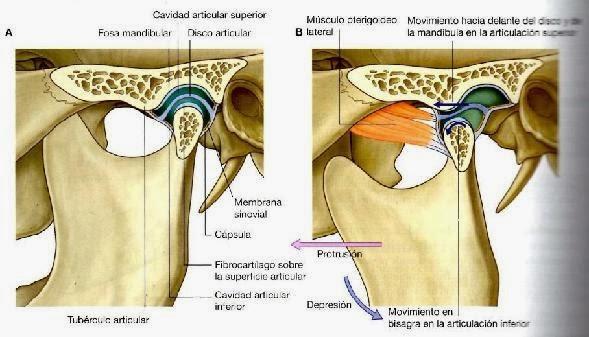 Orthodontics Team: MEMBRANA SINOVIAL DE ATM. MORFOLOGÍA FUNCIÓN Y ...