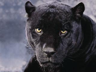 ملف كامل عن اجمل واروع الصور للحيوانات  المفترسة   حيوانات الغابة  5