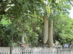 Sausage Tree in Juba