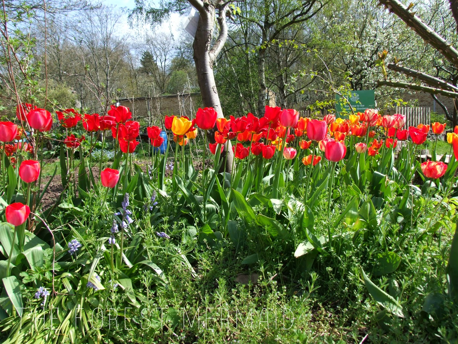 Spring Flowers At Windmill Hill City Farm The Forest Mermaid