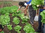 Frutos do Projeto Horta Escolar