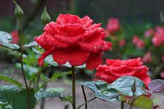 Incanto delle rose