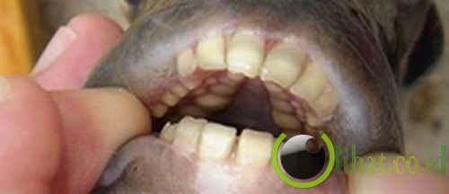 Ikan dengan struktur gigi persis manusia