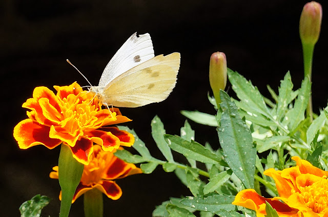 Image of a white butterfly on a bright orange flower.