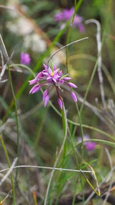 Purple Tassels (Sowerbaea laxiflora)