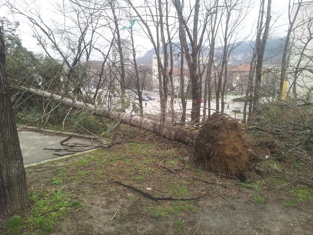 Изкоренено от бурята дърво в Габрово