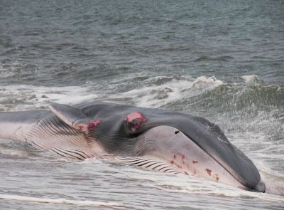 Injured fin whale in Cornwall