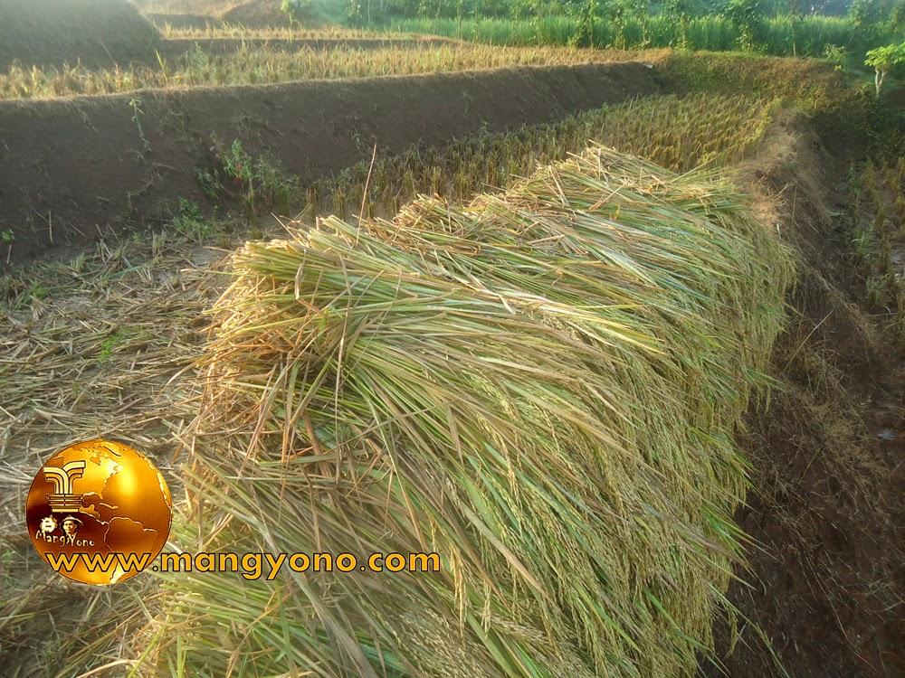 FOTO : Panen padi 6 – Tanaman padi yang sudah siap dirontokan