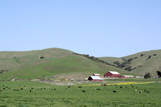 barn tomales petaluma road cows