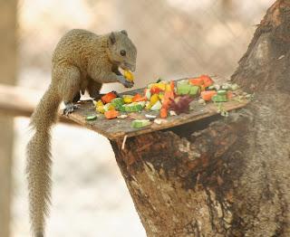 Grey-bellied Squirrel (Callosciurus caniceps)