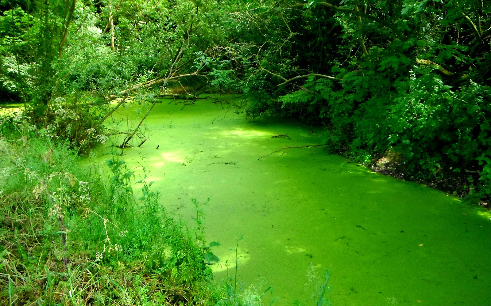 Algae growth in pond