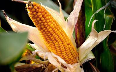 España: última colonia de Monsanto