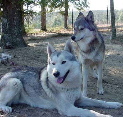 wolfdog01 10 Hewan Hasil Persilangan