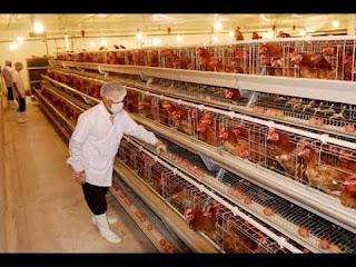 Tuyển 10 nữ làm trang trại gà ở Nhật Bản