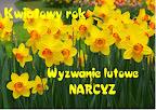 Lutowy narcyz