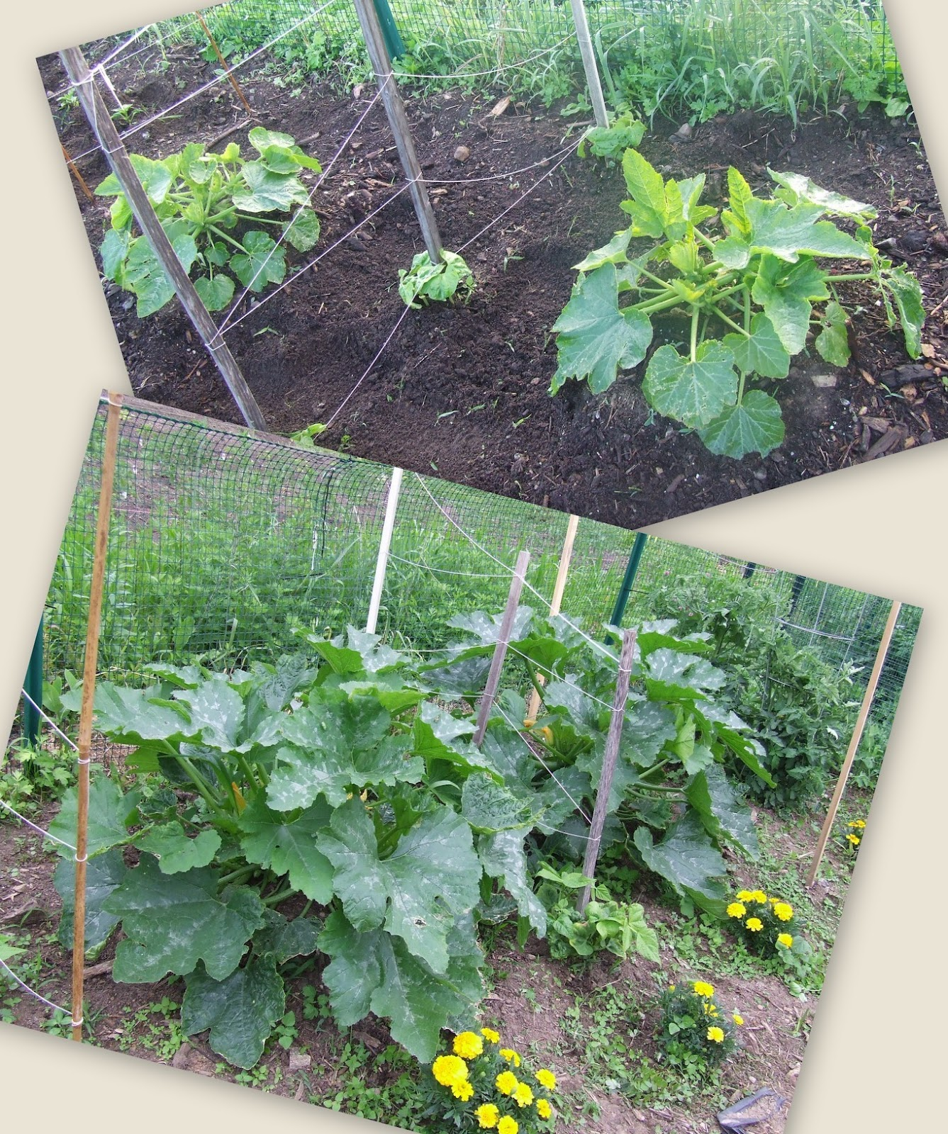 Stuff by cher how my garden grows growing zucchini for Easy to grow outdoor plants