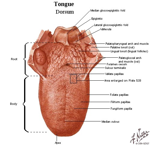 parts of the tongue are