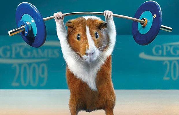 guinea pig weight