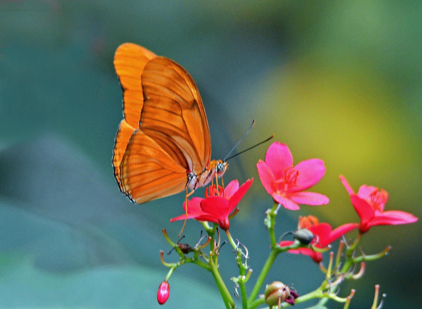 Butterfly Millionaire
