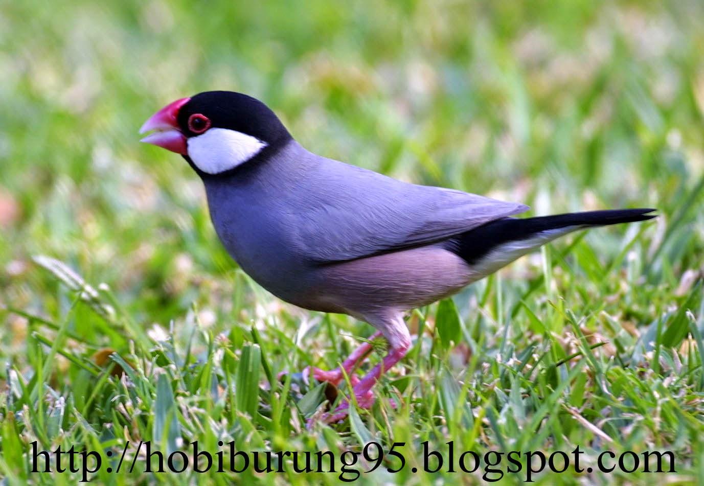 Jenis-Jenis Burung Gelatik Yang ada di Dunia