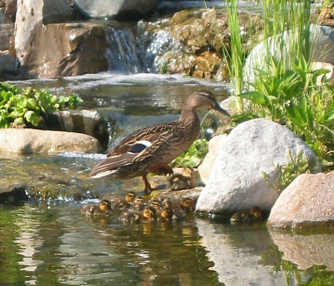 backyard ponds for ducks mama duck brought her ducklings to cool