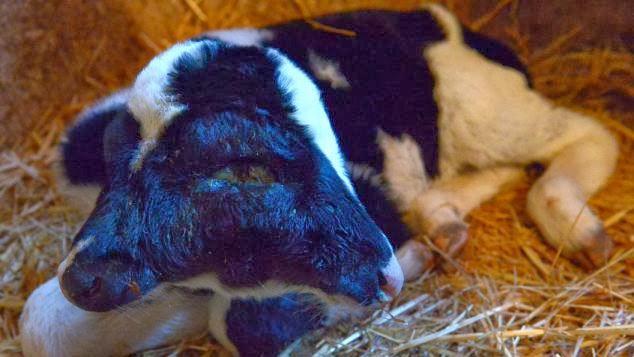 Seekor Anak Lembu Berkepala Dua Lahir di Maghribi