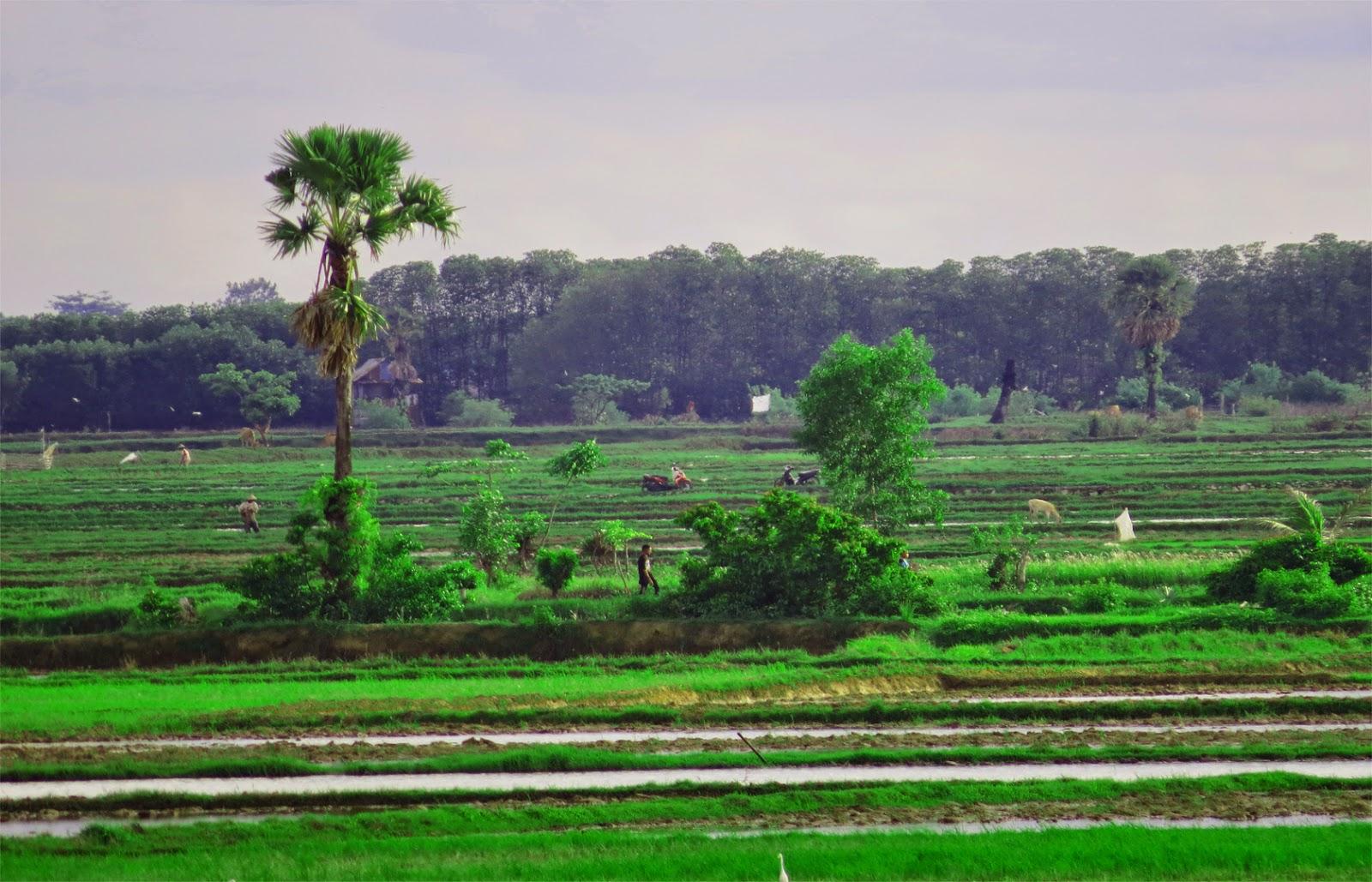 Sawah Hijau Kampung Halamanku (Foto/Admin)
