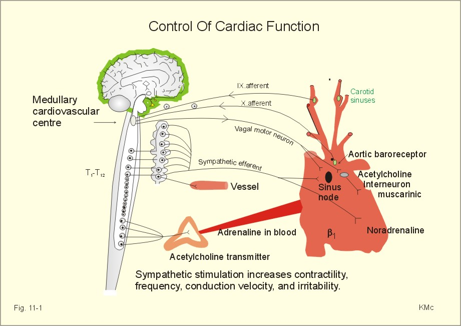 basic pathophysiology of atrial fibrillation biology essay Diabetes mellitus type 1 pathophysiology download pdf copy  study finds link between inflammatory signals in heart muscle cells and atrial fibrillation.