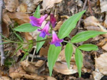 Lathyrus vernus (Cicerchia primaticcia)
