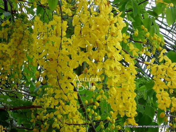 My Nice Garden: Cassia fistula - The Golden Shower Tree (Wordless ...