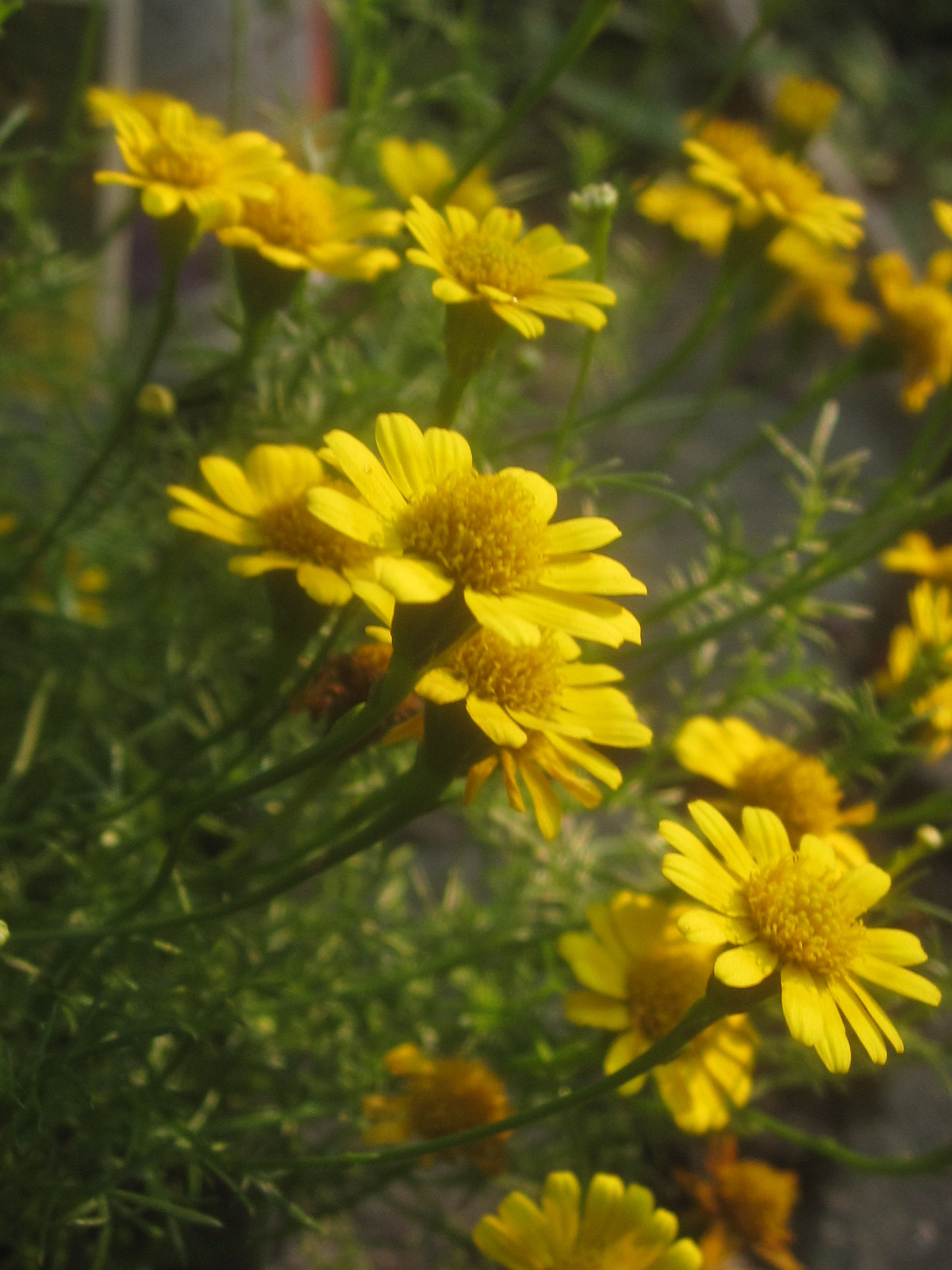 Pictures of yellow flowers with names a species of senecio common types of yellow flowers names blue amp yellow in the of yellow flowers names mightylinksfo Image collections